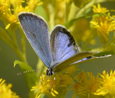 Photo of Eastern Tailed Blue Male Violet On NaturalCrooksDotCom