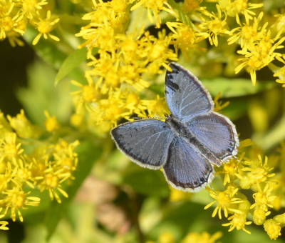 Photo of Eastern Tailed Blue Male on Goldenrod Panorama on NaturalCrooksDotCom