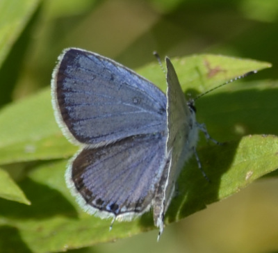 Photo of Eastern Tailed Blue On Greens B on NaturalCrooksDotCom