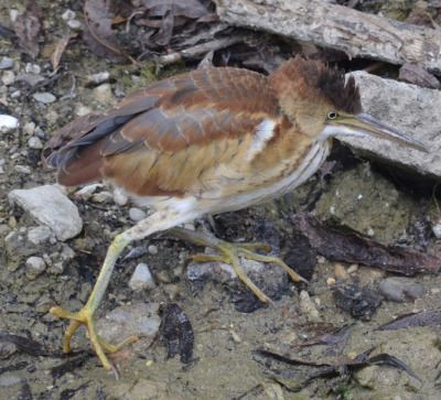 Photo of Least Bittern Hair On NaturalCrooksDotCom
