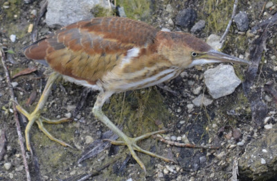 Photo of Least Bittern Walk On NaturalCrooksDotCom