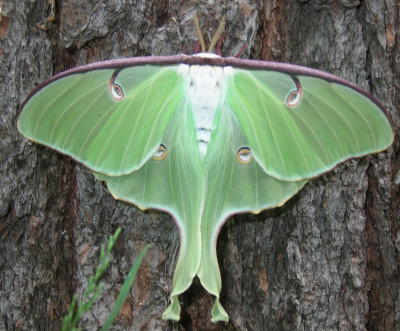Photo of Luna Moth Hind Wing Spots by Gerald Crooks on NaturalCrooksDotCom
