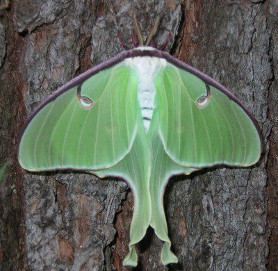 Photo of Luna Moth Hind Wings Closed by Gerald Crooks On NaturalCrooksDotCom