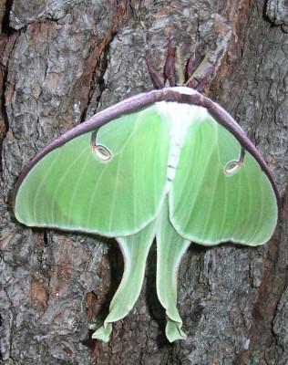 Photo of Luna Moth Legs by Gerald Crooks on NaturalCrooksDotCom
