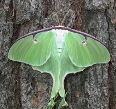 Photo of Luna Moth White Body by Gerald Crooks On NaturalCrooksDotCom