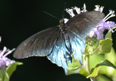 Photo of Pipevine Swallowtail Blue Back on NaturalCrooksDotCom
