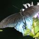Photo of Pipevine Swallowtail Blue Back on NaturalCrooksDotCom