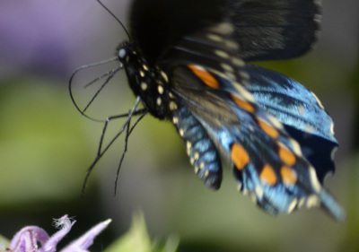 Photo of Pipevine Swallowtail Flight on NaturalCrooksDotCom
