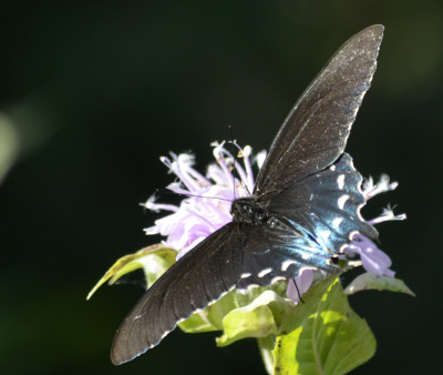 Photo of Pipevine Swallowtail Top Some Blue on NaturalCrooksDotCom