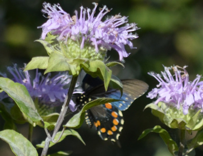 Photo of Pipevine Swallowtail Underwings Bergamot On NaturalCrooksDotCom