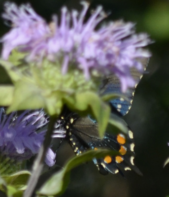 Photo of Pipevine Swallowtail Underwings on NaturalCrooksDotCom