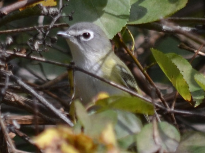 Photo of Blue Headed Vireo Peek on NaturalCrooksDotCom