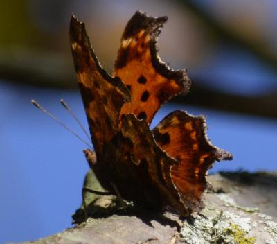 Photo of Comma Tree on NaturalCrooksDotCom