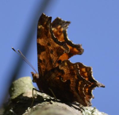 Photo of Comma Underwings Tree on NaturalCrooksDotCom