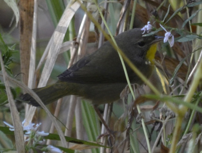 CommonYellowthroatFlowersOnNaturalCrooksDotCom