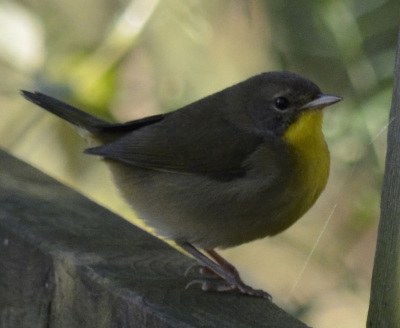 CommonYellowthroatRailonNaturalCrooksDotCom