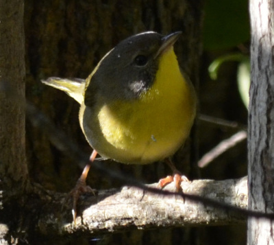 CommonYellowthroatTreeonNaturalCrooksDotCom