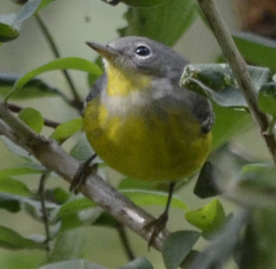 Photo of Magnolia Warbler Small On NaturalCrooksDotCom