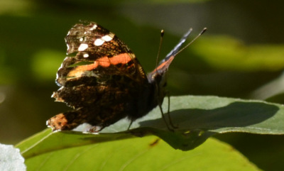 Photo of Red Admiral Side Tree on NaturalCrooksDotCom