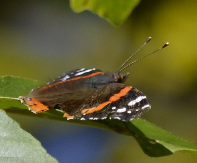 Photo of Red Admiral Tree on NaturalCrooksDotCom