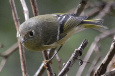 Photo of Ruby Crowned Kinglet Yellow Tail on NaturalCrooksDotCom