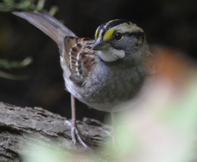 Photo of White Throated Sparrow blur on NaturalCrooksDotCom