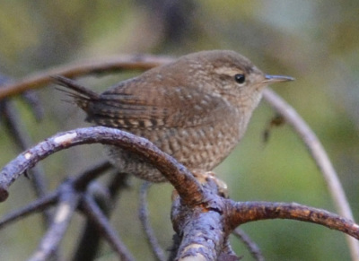 Photo of Winter Wren Branch on NaturalCrooksDotCom