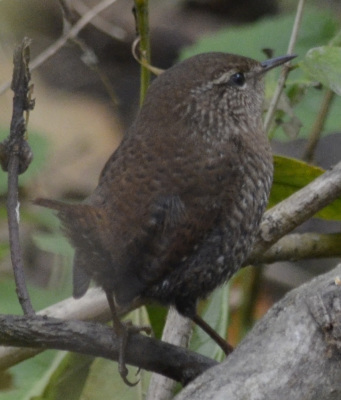Photo of Winter Wren Upright On NaturalCrooksDotCom