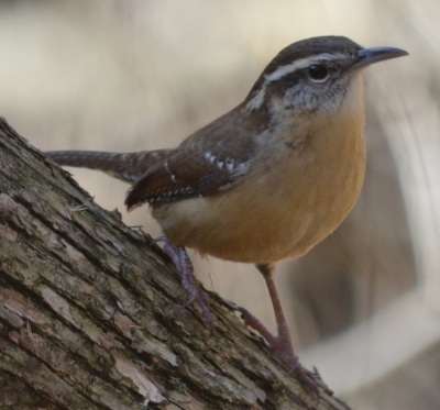 Photo of Carolina Wren log on NaturalCrooksDotCom