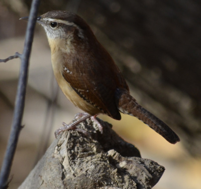 Photo of Carolina Wren stump On NaturalCrooksDotCom