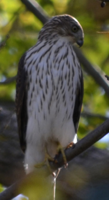 Photo of Coopers Hawk Looking Down On NaturalCrooksDotCom