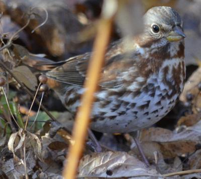 photo of Fox Sparrow Leaves on NaturalCrooksDotCom