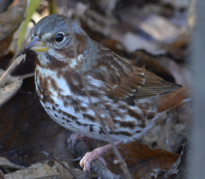 Photo of Fox Sparrow Red Feet On NaturalCrooksDotCom