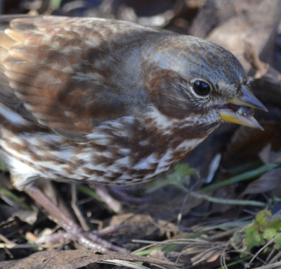 Photo of Fox Sparrow Sunflower Seed on NaturalCrooksDotCom