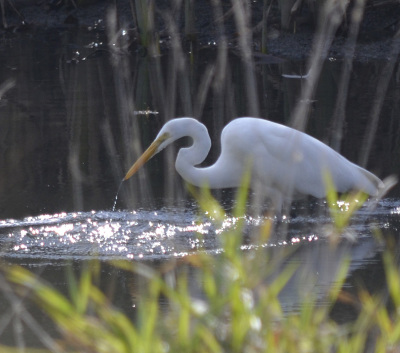 Photo of Great Egret Hunting On NaturalCrooksDotCom