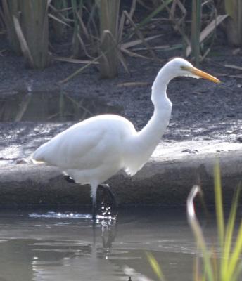 Photo of Great Egret On NaturalCrooksDotCom