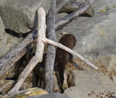 Photo of Mink On Shore on NaturalCrooksDotCom