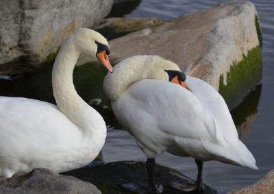 Photo of Mute Swans Rest on NaturalCrooksDotCom