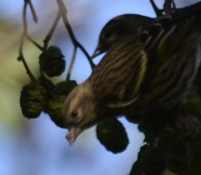 Photo of Pine Siskins 2 Alders on NaturalCrooksDotCom
