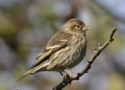 Photo of Pine Siskin B on NaturalCrooksDotCom