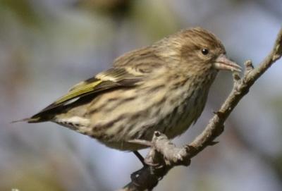 Photo of Pine Siskin C on NaturalCrooksDotCom