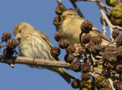 Photo of Pine Siskin Goldfinch On Alder on NaturalCrooksDotCom
