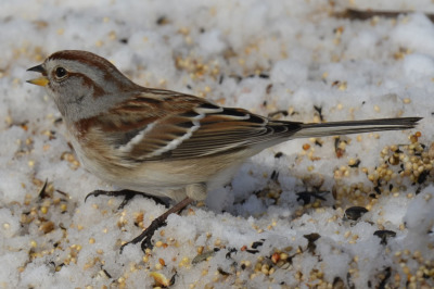 Photo of American Tree Sparrow Snow Seeds on NaturalCrooksDotCom