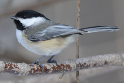 Photo of Black Capped Chickadee Perched on NaturalCrooksDotCom