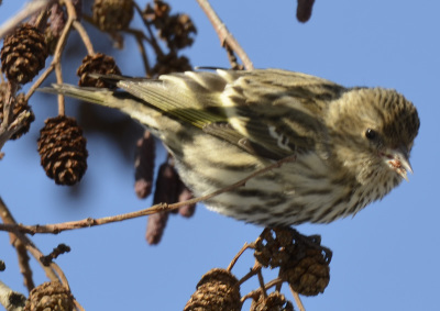 Photo of Pine Siskin Beakfull on NaturalCrooksDotCom