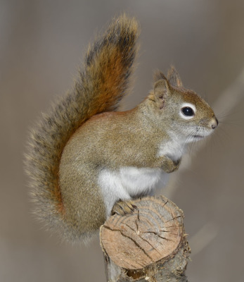 Photo of Red Squirrel Stump On NaturalCrooksDotCom