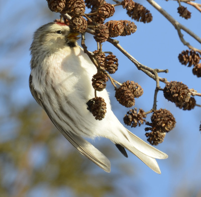 Photo of Redpoll Upright Alder on NaturalCrooksDotCom