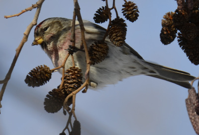 Photo of Redpoll Male Glint on NaturalCrooksDotCom