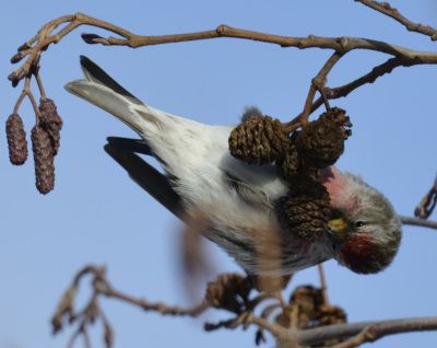 Photo of Redpoll Male Sideways Cone on NaturalCrooksDotCom