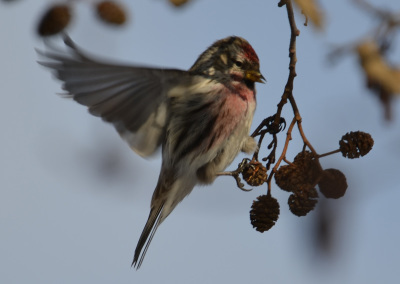 Photo of Redpoll Male Wing Out on NatuarlCrooksDotCom
